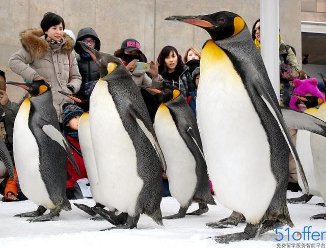 """日本旭山动物园开始""""企鹅漫步"""""""